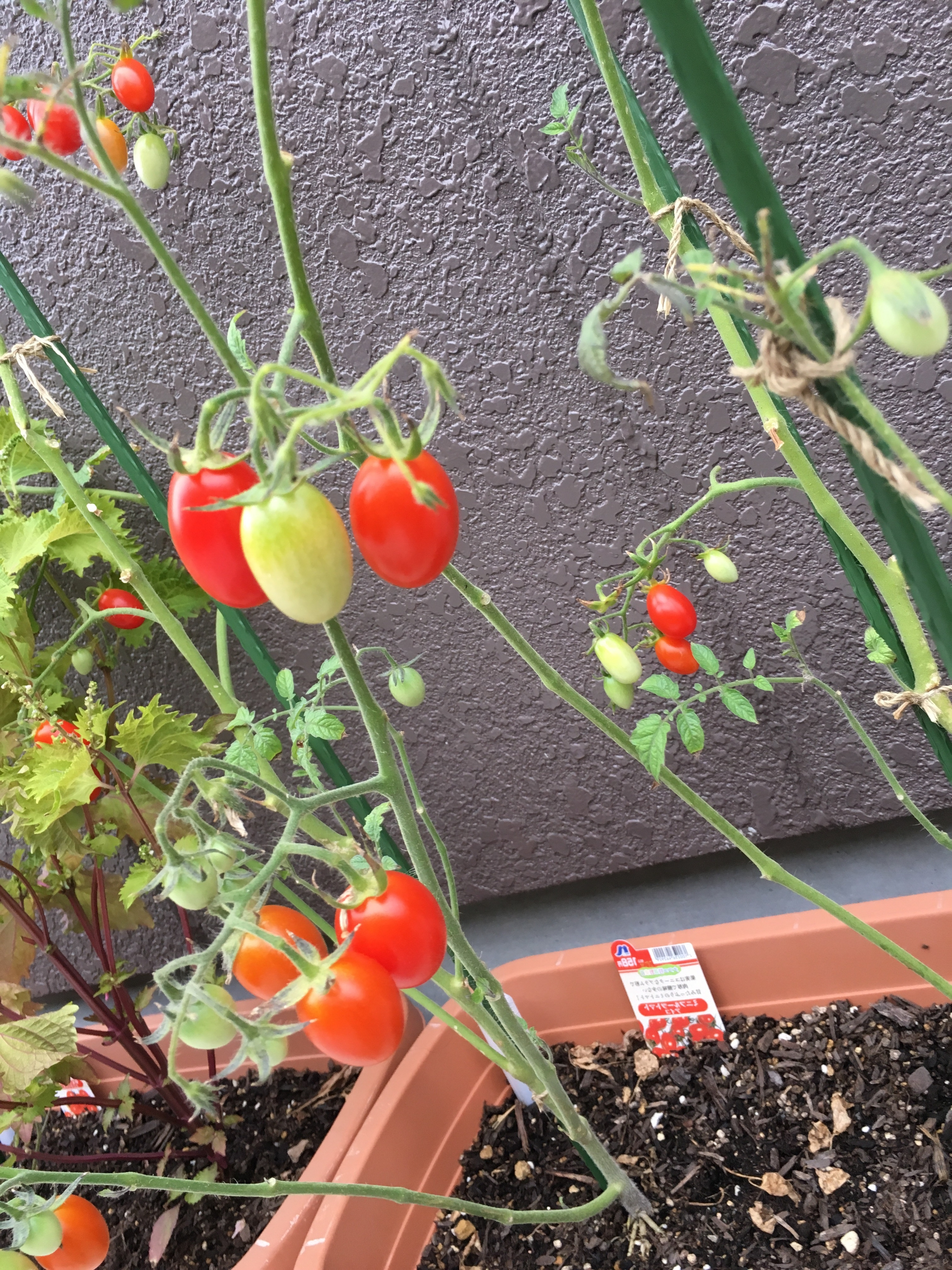 トマトのアイコ