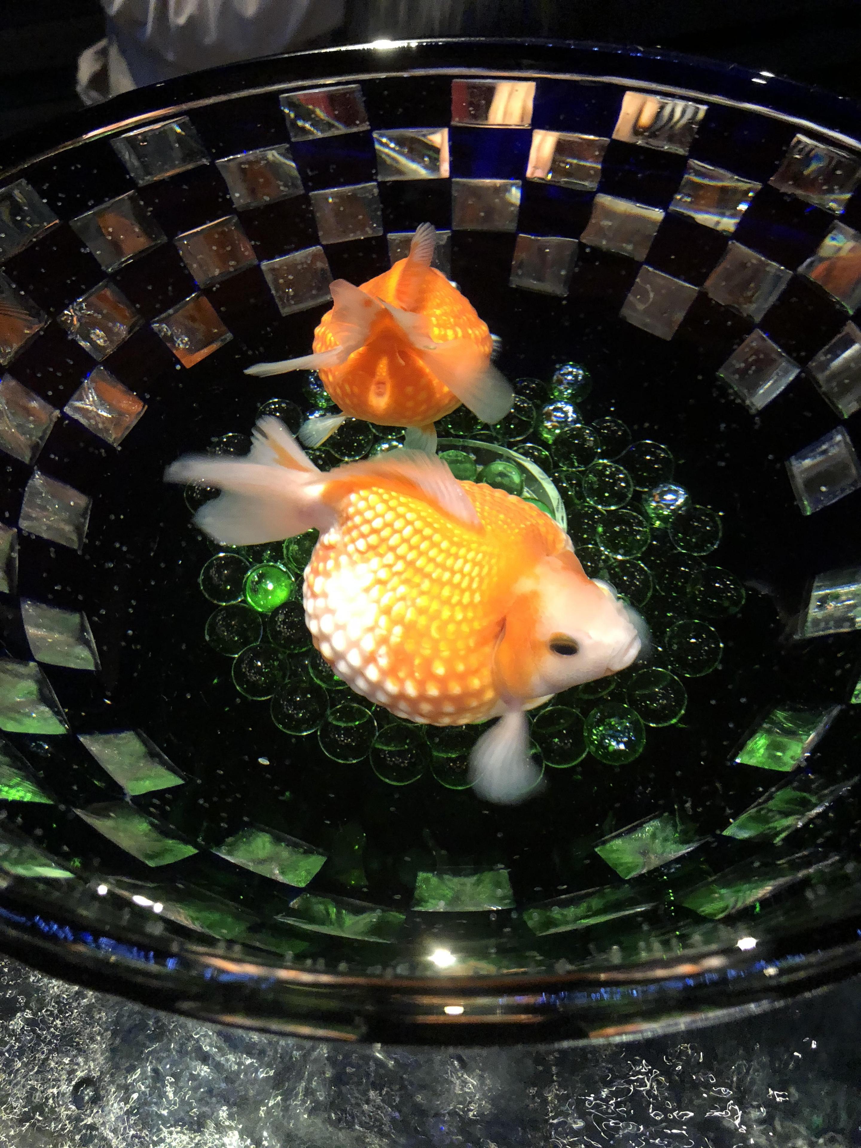岡元金魚3